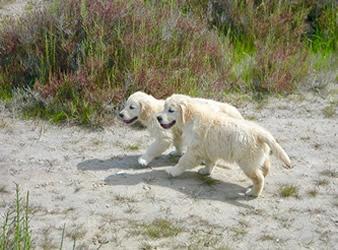 Cachorros Golden Retriever   Kowalski Retrievers
