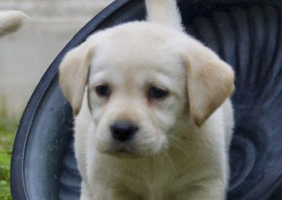 Cachorros Labrador Retriever   Kowalski Retriever
