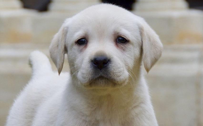 Criadero Golden Labrador Retriever